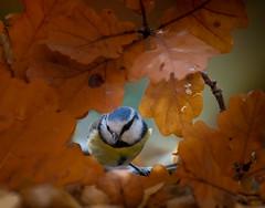 Leaves window (hardy-gjK) Tags: bird tit blue oiseau vogel blaumeise mésange bleue hardy nikon animal leaves autumn automne herbst