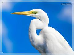 Αργυροτσικνιάς !!! (Spiros Tsoukias) Tags: hellas macedonia thessaloniki greece axiosdelta nationalpark flamingo ελλάδα μακεδονία θεσσαλονίκη καλοχώρι γαλλικόσ αξιόσ λουδίασ αλιάκμονασ εθνικόπάρκο δέλτααξιού υδρόβιαπτηνά φλαμίνγκο φοινικόπτερα ερωδιοί αργυροπελεκάνοι αργυροτσικνιάδεσ λευκοτσικνιάδεσ βαρβάρεσ γεράκια πάπιεσ φαλαρίδεσ κύκνοσ κύκνοι πελεκάνοσ κορμοράνοσ στρειδοφαγοσ κοκκινοσκέλησ σταχτοτσικνιάσ ποταμογλάρονα χουλιαρομύτα γλάροσ αβοκέτα καλαμοκανάσ λίμνεσ φύση ποτάμια θάλασσα βουνά πεδιάδεσ ηλιοβασίλεμα ανατολήηλίου πουλιά ζώα lakes nature rivers sea mountains plains sunset sunrise birds animals
