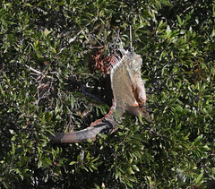 11-16-18-0042246 (Lake Worth) Tags: animal animals bird birds birdwatcher everglades southflorida feathers florida nature outdoor outdoors waterbirds wetlands wildlife wings