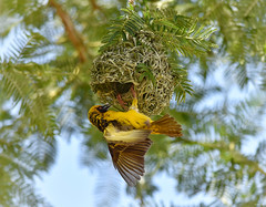 Weaver birds are such great architects.  This nest went up in a day. I understand that the female inspects the nest and if she is not satisfied with it, she tears it apart and the male rebuilds it! 😂 (Nina_Ali) Tags: depthoffield avian kwazulunatal southafrica fauna nature nest bird weaverbird sundaylights southernmaskedweaver ninaali nikond5500 nikon