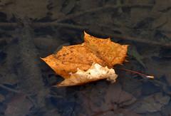 FLOATING LEAF (KayLov) Tags: swannanoa scenery asheville grove park inn leaves foliage