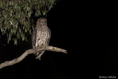 Powerful Owl (Jims Wildlife) Tags: ninoxstrenua powerfulowl australia nocturnal