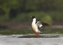 Common Merganser (T L Sepkovic) Tags: commonmerganser merganser duck waterfowl wildlife wildlifephotography canon 5dmkiv teamcanon lenscoat bird river water susquehannariver central pa pawildlife