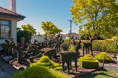 Maidstone (Westographer) Tags: maidstone melbourne australia westernsuburbs suburbia australiansuburbia topiary frontyard garden hedge