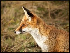 renard (pat lechner) Tags: renard roux renardroux baiedesomme baiedauthie baiedelacanche picardie