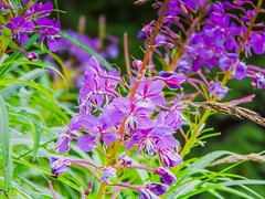 Lintracee (videofotoeventi) Tags: fiori flower natura nature flora lavanda lintracee palma lantana camara buganvillea buddleja primula melo geranio