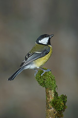 Great tit (john neal photography) Tags: greattit bird dorset uk nature wildlife sony sigma naturephotography closeup garden smallbird flash parusmajor