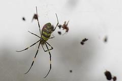 _PWS3782 (paulshaffner) Tags: taiwan joro spider nephila clavata fenchihu