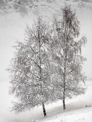 Arbres en début d'hiver (Jean-Marc Linder) Tags: arbre tree albero hiver winter inverno neige snow neve blanc white bianco vercorin winterbeauty