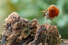 Robin (Mrs Airwolfhound) Tags: lackford suffolk lakes birds wildlife canon 70d nature winter robin