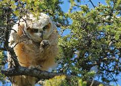 Great Horned Owlet...#17 (Guy Lichter Photography - 4.4M views Thank you) Tags: canon 5d3 canada manitoba winnipeg wildlife animal animals bird birds owl owls greathornedowl owlet