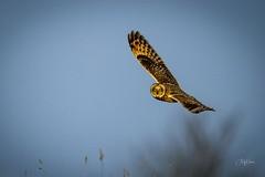 Shortie stare down (andy_harris62) Tags: shortie shortearedowl birdofprey owl outside birdinflight sky nikon nikond850 nikkor