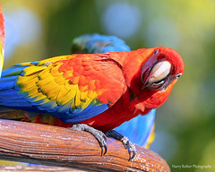 Hello there (Harry Rother) Tags: animal bird parrot macaw scarlett disney wingedencounter