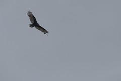 IMG_4448 (armadil) Tags: prairie ranchocorraldetierra bird birds vulture turkeyvulture flying