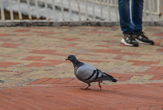 Large pigeon walking on a brick sidewalk (phuong.sg@gmail.com) Tags: abstract animals background beak beauty birds black brick city closeup cute dove eye feather floor group life light nature old one outdoors pattern pavement paving pedestrian people person pigeons road scene sidewalk square street summer texture tile travel urban walking walkway wild wildlife