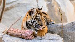 ©Sumatra-Tiger (Nikonfan-Fotografie) Tags: tierpark berlin tierparkberlin lichtenberg friedrichsfelde deutschland germany tiger tierkinder