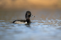 Ring-necked duck (nikunj.m.patel) Tags: ducks ringneckedduck nature wild wildlife outdoors nikon naturephotography