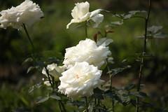 White Rose (arif.bsl14) Tags: flower flowers rose roseflower blooming bud bloom natural nature macro closup