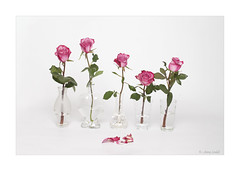 Gather ye rosebuds (Sendall) Tags: roses red flowers vases rosebuds pink petals stilllife