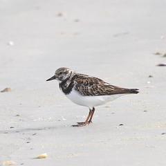 Ruddy Turnstone (MJ Harbey) Tags: beach sand bird water newsmyrnabeach florida usa ruddyturnstone animalia aves scolopacidae arenariainterpres wadingbird nikon d3300 nikond3300