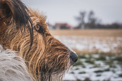 2019-01-26_12 (vond.one) Tags: vond g80 g85 panasonic lumix 1260 természet nature tél winter kutya dog
