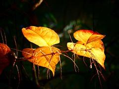 Dans le cône de lumière (libra1054) Tags: feuilles blätter foglie fulles hojas folhas leaves