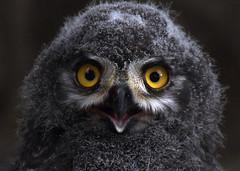 Baby Face (Nephentes Phinena ☮) Tags: nikond500 sigma50500mmf463 wildparklüneburgerheide snowyowlchick schneeeulenküken snowyowl schneeeule