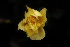 Rose (Hugo von Schreck) Tags: hugovonschreck rose flower blume blüte canoneos5dsr tamron28300mmf3563divcpzda010