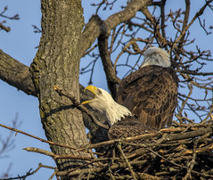 Getting mad at a stick..... (Kevin Povenz Thanks for all the views and comments) Tags: 2018 november kevinpovenz westmichigan michigan jenison ottawa ottawacounty ottawacountyparks outdoors outside grandravinesnorth baldeagle early eagle earlymorning nest canon7dmarkii nature sigma150500 bird birdsofprey