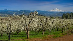 Hood RIver Orchard Mt Adams 7679 D (jim.choate59) Tags: jchoate on1pics orchard spring trees blossoms hoodriveroregon rural agriculture mountadams mountain scenic landscape fruitvalley parkdaleoregon