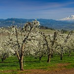 Hood RIver Orchard Mt Adams 7679 D thumbnail