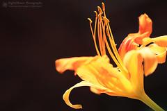 In My Garden of Flames (right2roam) Tags: omaha garden summer flower minnelusa historicdistrict right2roam gardening nebraska daylily hemerocallis horticulture