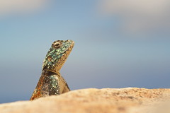 Hold Your Head Up High! (Stefan Zwi.) Tags: wildlife südafrika southafrica ngc npc agame agama felsenagame reptile reptil