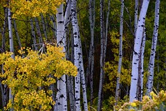 _DSC6229  Beautiful aspen trees (christinachui79) Tags: white flickrnature autumnseason autumntheme autumncolour falltheme fallseason fallcolour nikond750 landscapephotography naturephotography aspentrees yellowcolour leaves forest wood aspen tree yellow nature landscape beautifull nikon d750 autumn fall dof