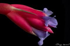 Tillandsia aeranthos (Giorgio Armano) Tags: tillandsia aeranthos fiore focus flower fiori helicon nikon macro