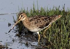 Latham's Snipe (Gallinago hardwickii) (iainrmacaulay) Tags: bird australia lathams snipe gallinago hardwickii