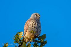 Kestrel, Holly Lodge Paddock (Johnchess) Tags: richmondpark 2november2018 fridaybirdgroup