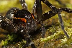 Fishing spider (Dolomedes sp.?) (edward.evans) Tags: pisauridae nurserywebspider spider arachnid water dolomedes fishingspider raftspider araneae cairns farnorthqueensland queensland australia fnq