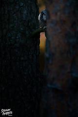 Hide and seek (Stefan Gerrits aka vanbikkel) Tags: finland helsinki canon5dmarkiii canonef500mmf4liiusm nature wildlife vanbikkel bird birds uil pöllö northernhawkowl surniaulula hiiripöllö sperweruil