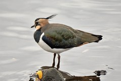 Lapwing. (dave harrison143) Tags: lapwing