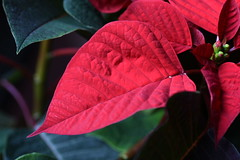 DSC_2262 Poinsettia (PeaTJay) Tags: nikond750 sigma reading lowerearley berkshire macro micro closeups gardens indoors nature flora fauna plants flowers poinsettia