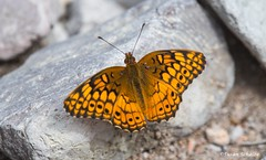 Warming up on a rock (Photosuze) Tags: butterflies insects perched animals nature bugs pollinators variegatedfritillaries wildlife euptoietaclaudia