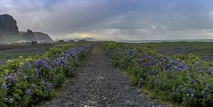 The road to nowhere (einisson) Tags: road lupine clouds mist vík iceland outdoor landscape einisson canon70d