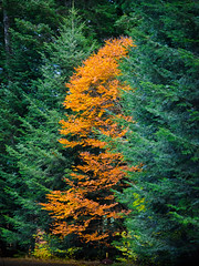 Standing out (Valérie C) Tags: orange yellow green tree fall autumn france auvergne forest pine nature woods color colorful country