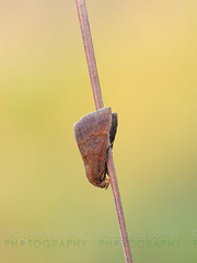 Moth On Overnight Roost (cholmesphoto) Tags: animalia animals arthropoda arthropods cutwormordartmoths hexapoda hexapods insecta insects lepidoptera moths noctuidae noctuinae noctuoidea owletmoths trifineowlets animal bug insect moth nature wildlife