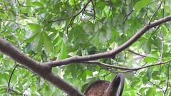 Video of the Sulawesi Bear Cuscus and her Baby (benyeuda) Tags: sulawesi indonesia tangkoko tangkokonaturereserve naturereserve ailuropsursinus bearcuscus mammal mammalwatching cuscus sulawesibearcuscus wildlife coolanimal wildanimal endemic interestinganimal rareanimal rarewildlife