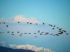 Gru europee (ddgp) Tags: commoncrane grusgrus grue alpi superga piemonte italia alps birds fly