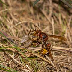 a hornet and its prey - Eine Hornisse mit Ihrer Beute (ralfkai41) Tags: makro prey insekten macro hornet nature beute hornisse insects natur tiere animals