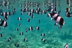 Black Pyramid Butterflyfish (davee10101) Tags: 2018 blackpyramidbutterflyfish fish hemitaurichthyszoster kuramathi maldives shoal northcentralprovince mv
