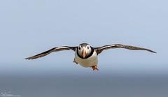 Incoming Puffin (Steve (Hooky) Waddingham) Tags: stevenwaddinghamphotography animal coast sea summer nature northumberland bird british fish wild wildlife ngc